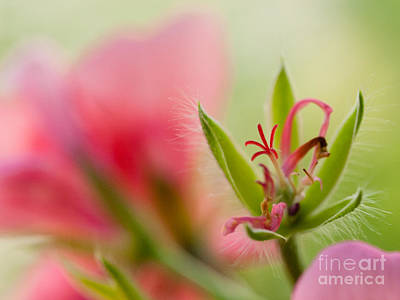 Photograph - Pretty Colors Of Geranium  by Ismo Raisanen