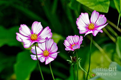 Photograph - Pretty Cosmos by Eve Spring