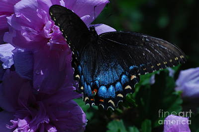 Photograph - Pretty Eastern Tiger Swallow Tail by Mark McReynolds