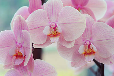 Photograph - Pretty Elegance. Orchids From Keukenhof. Netherlands by Jenny Rainbow