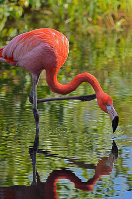 Photograph - Pretty Flamingo by Dragan Kudjerski