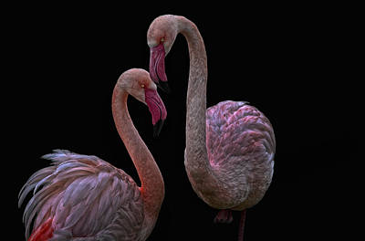 Flamingos Photograph - Pretty Flamingos by Joachim G Pinkawa
