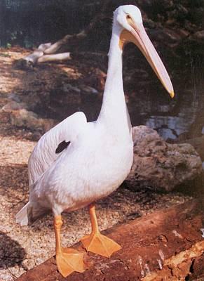 Photograph - Pretty White Florida Pelican by Belinda Lee