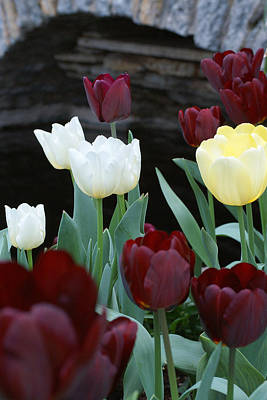 Tulip Pics Photograph - Pretty Flowers by David Schleiss