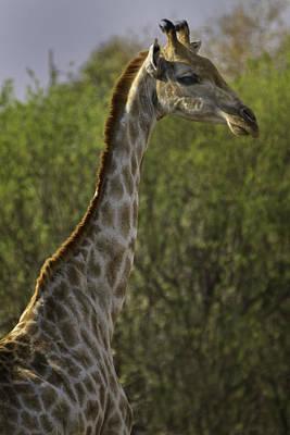 David Bowie Royalty Free Images - Pretty Giraffe 7174 Royalty-Free Image by Karen Celella