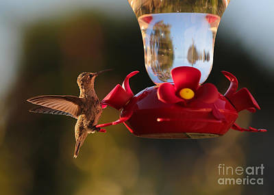 Science Tees Rights Managed Images - Pretty Hummer Royalty-Free Image by Carol Groenen