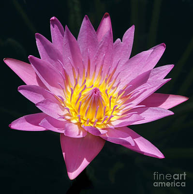 Photograph - Pretty In Pink And Yellow Water Lily by Sabrina L Ryan
