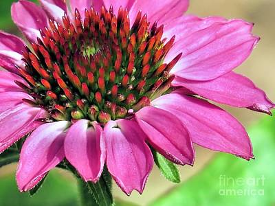 Photograph - Pretty Pink Coneflower by Janice Drew