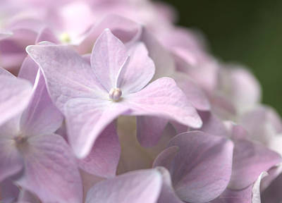 Photograph - Pretty In Pink Hydrangea Flowers by Jennie Marie Schell