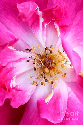 Florida Flowers Photograph - Pretty In Pink Rose Close Up by Sabrina L Ryan