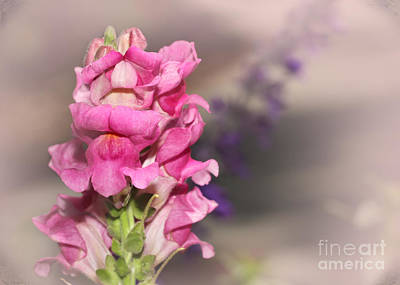 Photograph - Pretty In Pink Snap Dragons by Sabrina L Ryan