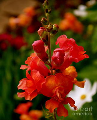 Photograph - Pretty In Red by Sherri Williams