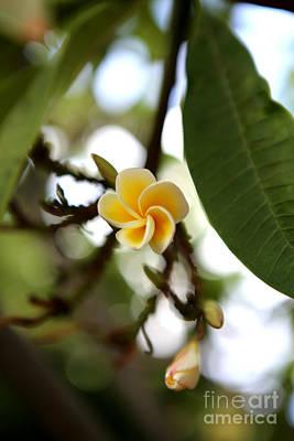 Photograph - Pretty Little Plumeria by Deena Otterstetter