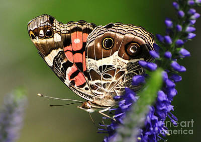 Photograph - Pretty Painted Lady by Kathy Baccari