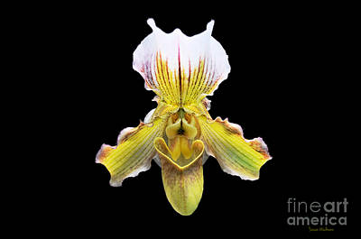 Photograph - Pretty Paphiopedilum Orchid Ver. 2 by Susan Wiedmann