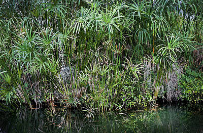 Photograph - Pretty Papyrus On Pond 2 by Rich Franco