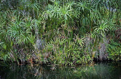 Photograph - Pretty Papyrus On The Pond by Rich Franco