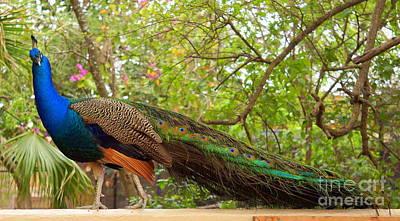 Photograph - Pretty Peacock  by Rachel Munoz Striggow
