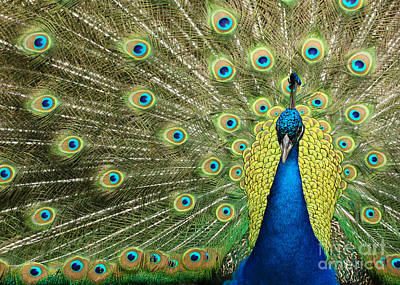 Photograph - Pretty Peacock by Sabrina L Ryan