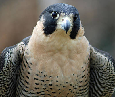 Photograph - Pretty Peregrine by Richard Bryce and Family