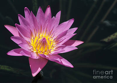 Florida Flowers Photograph - Pretty Pink And Yellow Water Lily by Sabrina L Ryan