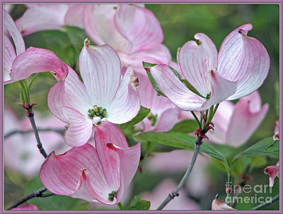 Photograph - Pretty Pink Dogwood by Chris Anderson