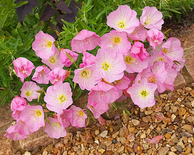 Photograph - Pretty Pink Rock Roses In The Rain by Gill Billington