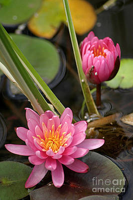 Photograph - Pretty Pink Water Lilies by Living Color Photography Lorraine Lynch