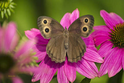 Photograph - Pretty Butterfly On Pink Flowers by Christina Rollo