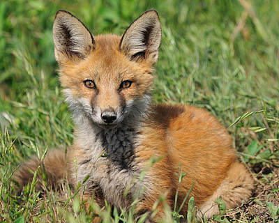Pretty Red Fox Kit Art Print by Angel Cher