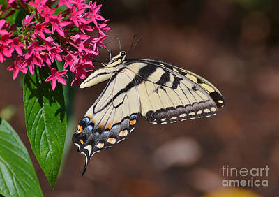 Photograph - Pretty Swallowtail On Pentas by Kathy Baccari
