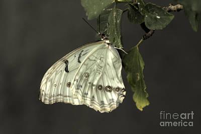 Photograph - Pretty White Butterfly by Jeremy Hayden