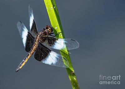 Photograph - Pretty Widow Skimmer by Cheryl Baxter