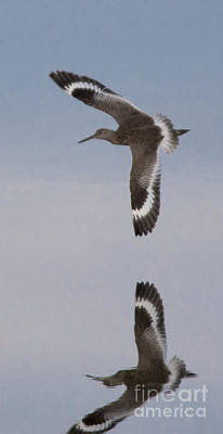 Photograph - Pretty Willet by Ursula Lawrence