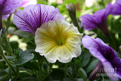 Photograph - Pretty Yellow And Purple Petunias by D Wallace