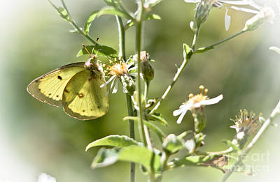 Photograph - Pretty Yellow Butterfly by Cheryl Baxter