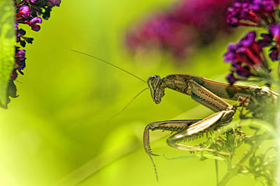 Butterfly Prey Photograph - Preying Mantis by Geraldine Scull