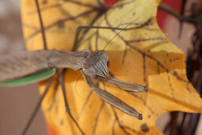 Photograph - Preying Mantis In Fall by Jeff Folger