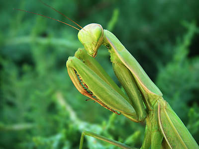 Mantis Photograph - Preying Mantis by Leland D Howard