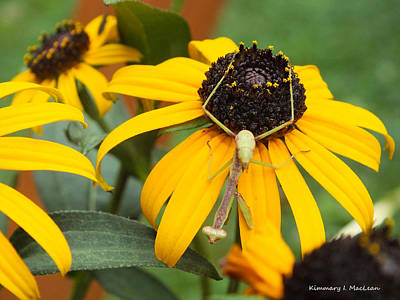 Photograph - Preying Mantis On Black Eyed Susan by Kimmary MacLean