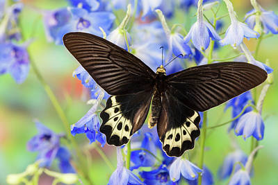 Blue Delphinium Photograph - Priapus Batwing Swallowtail Butterfly by Darrell Gulin