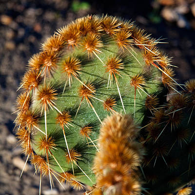 Photograph - Prickly Cactus Leaf Green Brown Plant Fine Art Photography Print  by Jerry Cowart