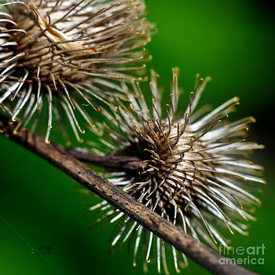 Photograph - Prickly by Lois Bryan