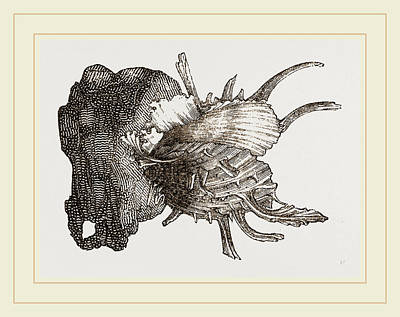 Prickly Drawing - Prickly Oyster by Litz Collection
