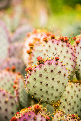 Photograph - Prickly Pear 1 by Norchel Maye Camacho