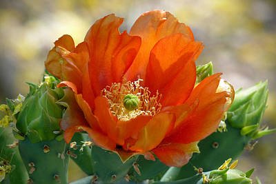 Cactus Southwest Cactus Flower Orange Wildflowers Nature Arizona Photograph - Prickly Pear Beauty by Cindy McDaniel