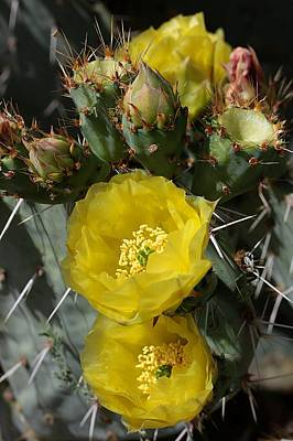 Photograph - Prickly Pear Blossoms And Buds by Joe Kozlowski