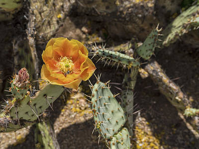 Photograph - Prickly Pear Cactus Arizona by Marianne Campolongo