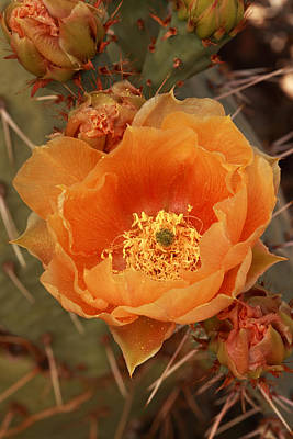Photograph - Prickly Pear Cactus Blooming In The Sandia Foothills by Alan Vance Ley