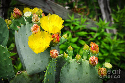 Photograph - Prickly Pear by Cheryl McClure